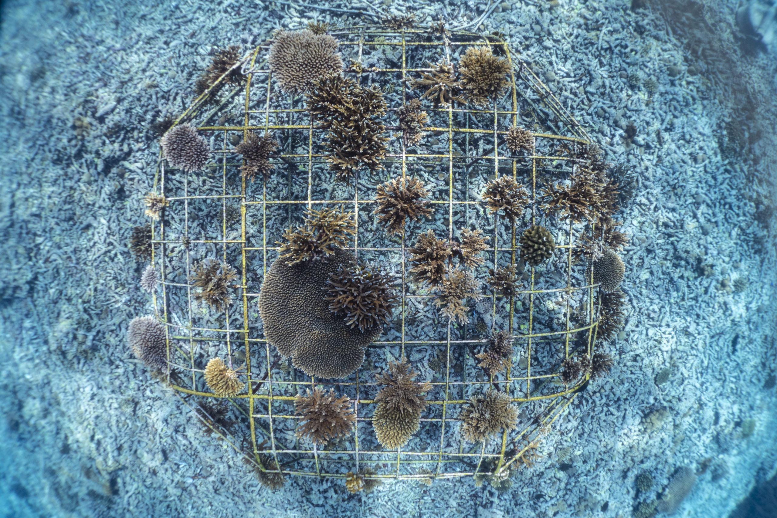 Quel est le coût de restauration d'un cm² de récifs coralliens